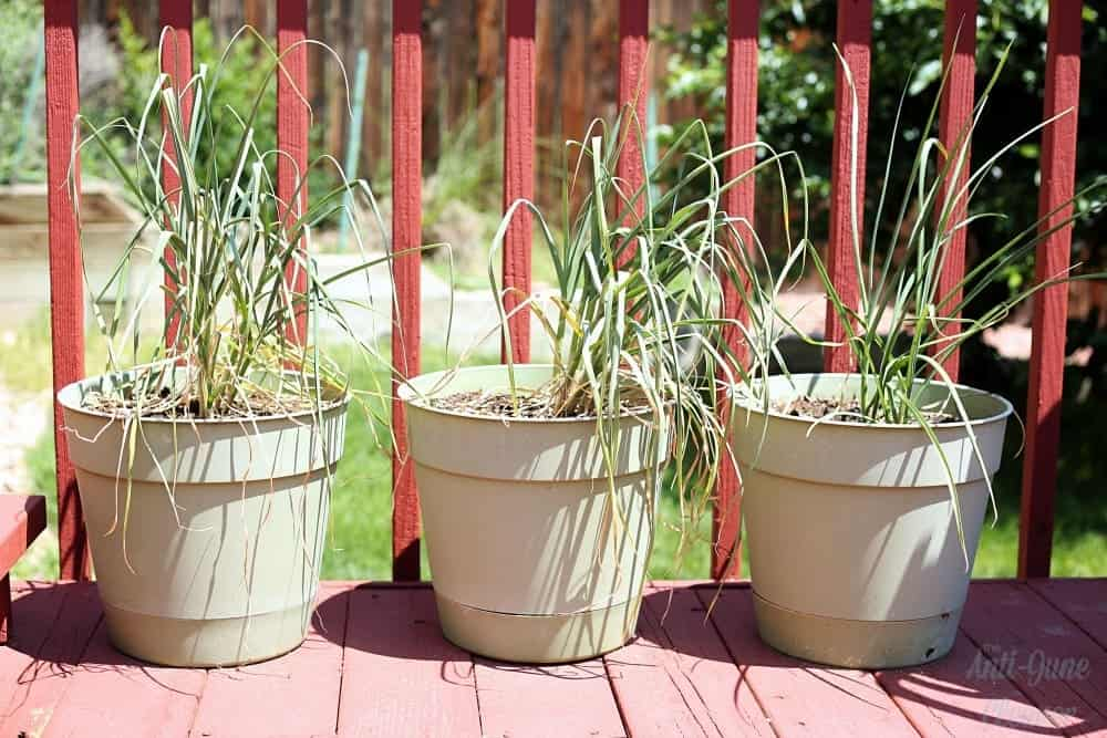 Container gardening: Growing and harvesting garlic in containers.