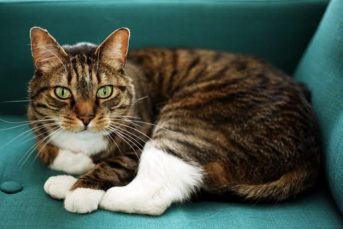 Reasons to adopt an adult cat @catspride #ad #LitterForGood