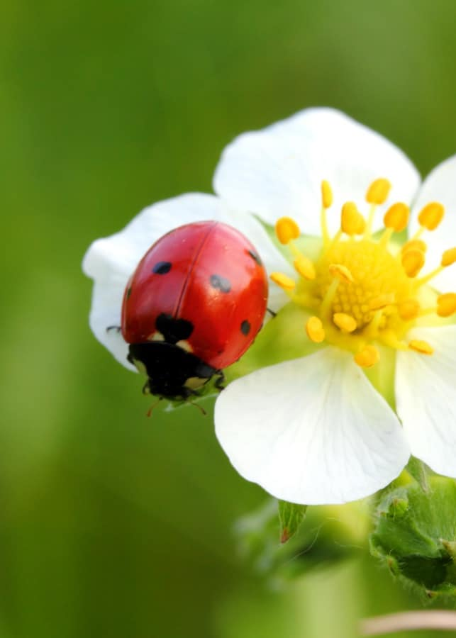 Fun Facts About Ladybugs for Kids + Printable Worksheets